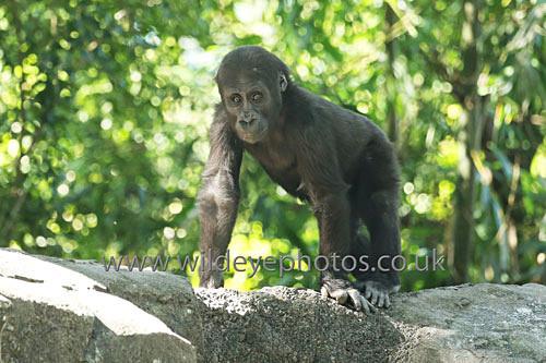Baby Gorilla - Primates