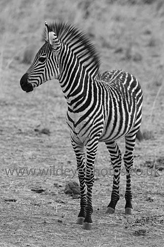 Young Zebra Profile - Black & White