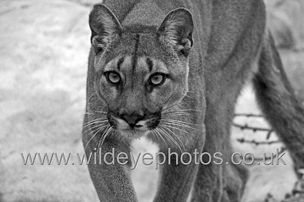 Puma - Black & White