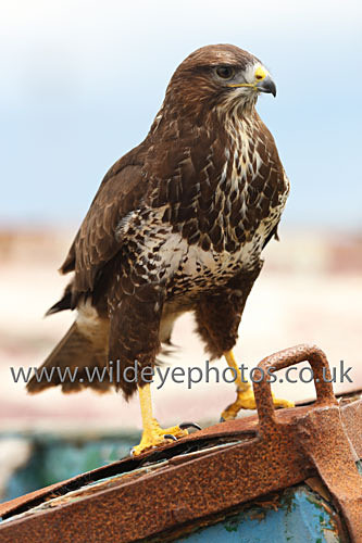 Buzzard on the Prow - Birds Of prey