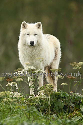 Arctic Wolf - Wolves