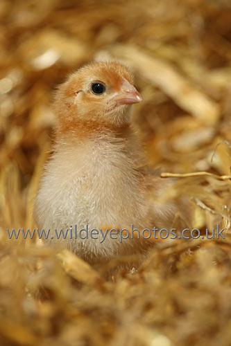 Chick - British Birds