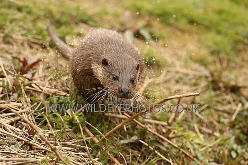 Otter Jump - British Wildlife
