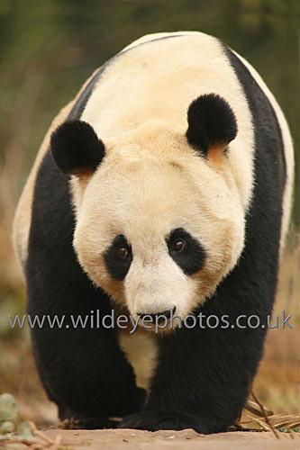 Panda Patrol - Pandas