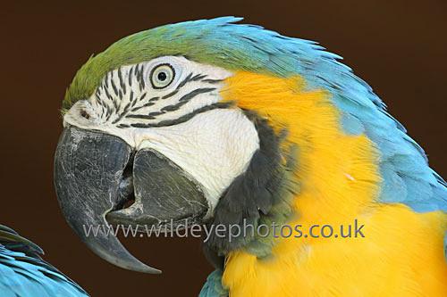 Macaw Portrait - Birds