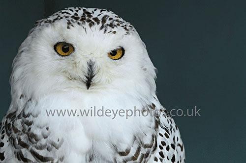 Snowy Portrait - Owls