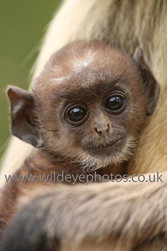 Langur Cuddle - Primates