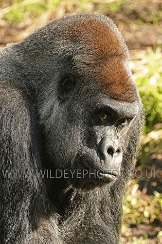 A Sidelong Glance - Primates