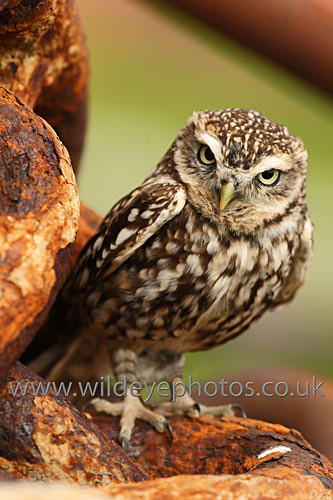 Dudley In The Boatyard - Owls