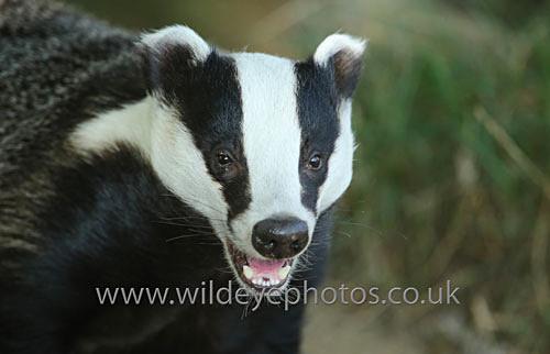 Laughing Badger - British Wildlife