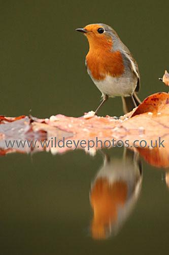 Reflected Robin - British Birds