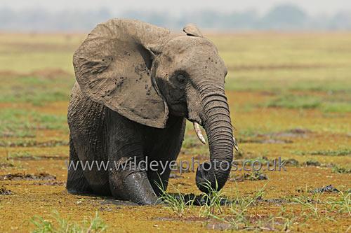 Ele In The Lagoon - Elephants