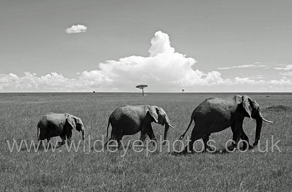Elephant Family - Black & White