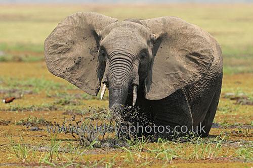 Squirting Ele - Elephants