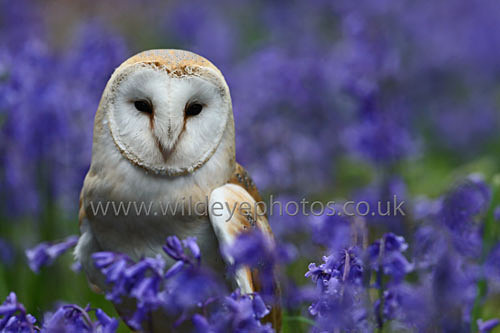 Barn Owl In The Bluebells - Owls