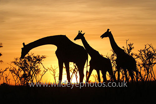 Giraffe Sunset Trio - African Wildlife