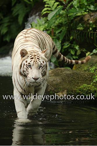 White Tiger - Tigers