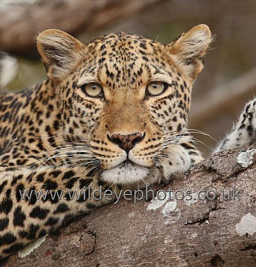 Leopard Face - Squares