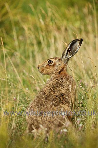 Curious Hare - British Wildlife