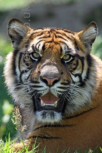 Smiling Tiger - Tigers