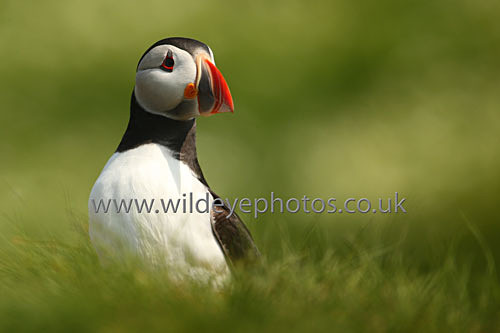 Puffin In The Grass - Puffins