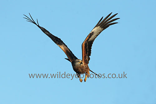Kite In Flight - Birds Of prey