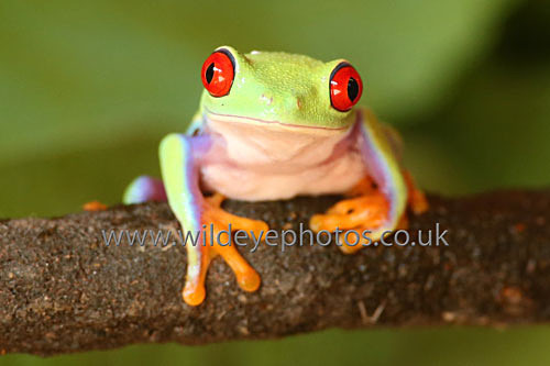 Red Eyed Tree Frog - Reptiles, Amphibians & Insects