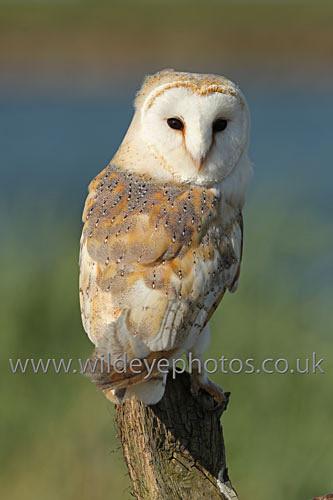 Barn Owl Afternoon - Owls