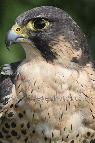 Peregrine Portrait - Birds Of prey