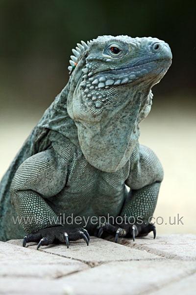 Blue Iguana - Reptiles, Amphibians & Insects