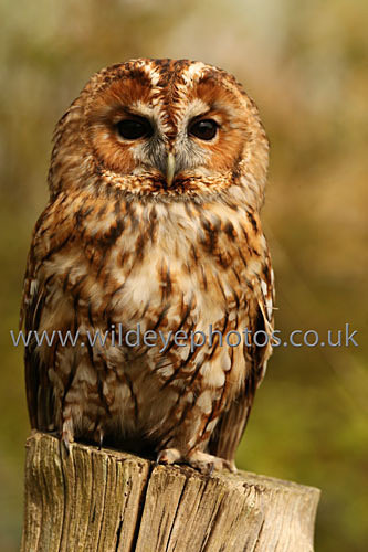 Tawny On The Post - Owls