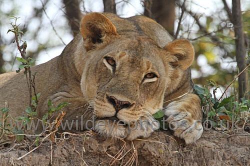 Lioness Resting - Lions