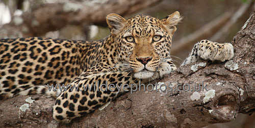 Leopard Resting - Panoramic & Slim Prints