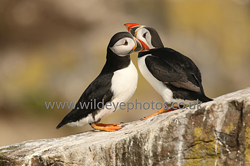 Puffin Cuddle - Puffins