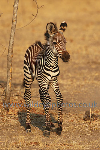 Baby Zebra Trotting - African Wildlife