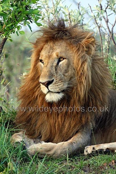 Lion King - Lions
