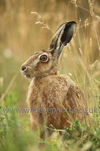 Alert Hare - British Wildlife