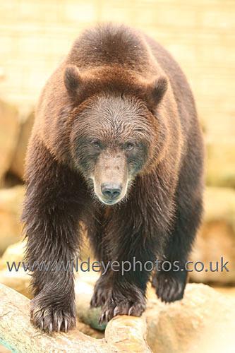 Bear On The Prowl - Wildlife