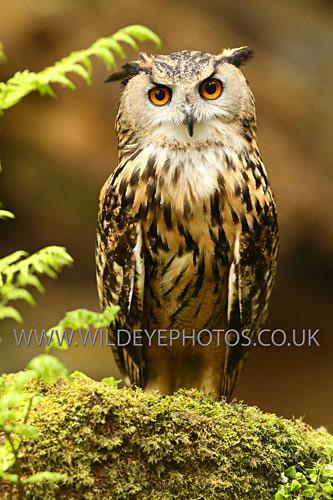 Eagle Owl Resting - Owls