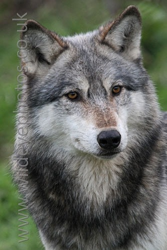 Curious Wolf Portrait - Wolves