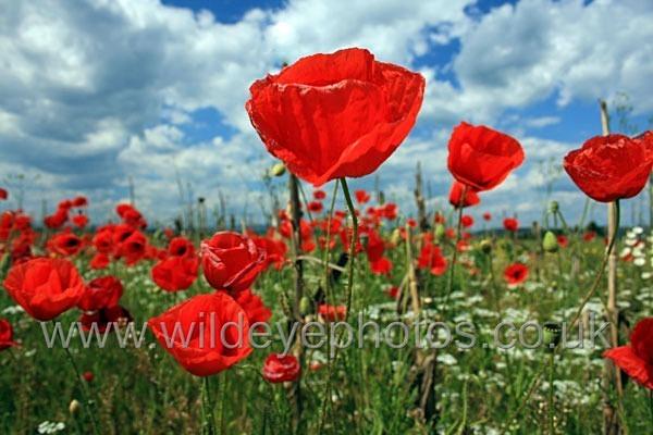 Poppies & Sky - Landscape & Life