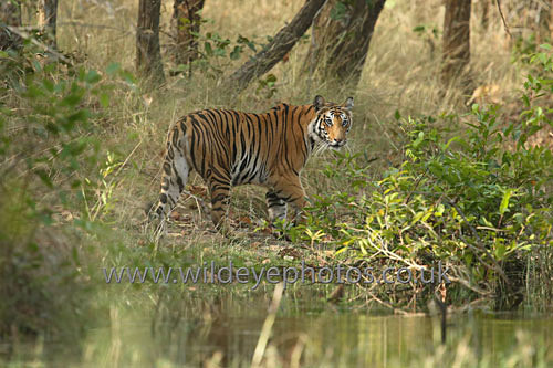 Tiger In The Clearing - Tigers