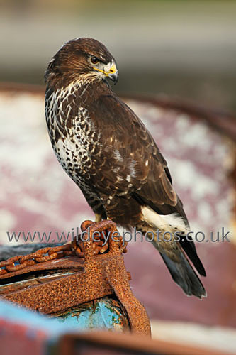 Preening Buzzard - Birds Of prey