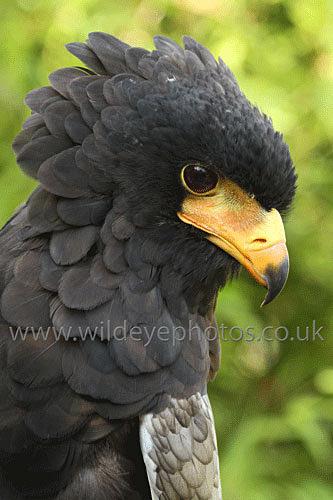 Ruffled Bataleur - Birds Of prey