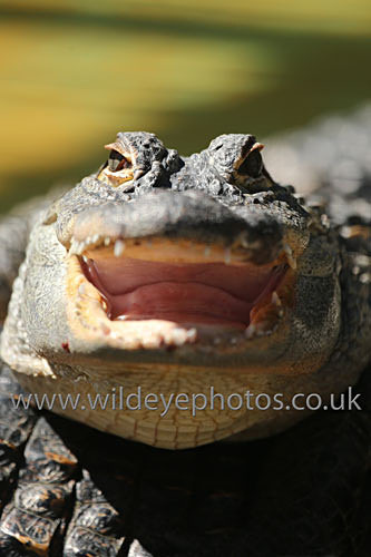 Laughing Gator - Reptiles, Amphibians & Insects