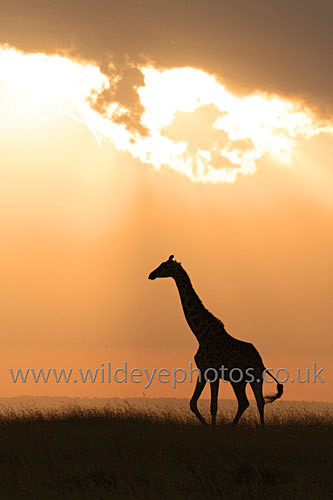 Giraffe At Dusk - African Wildlife