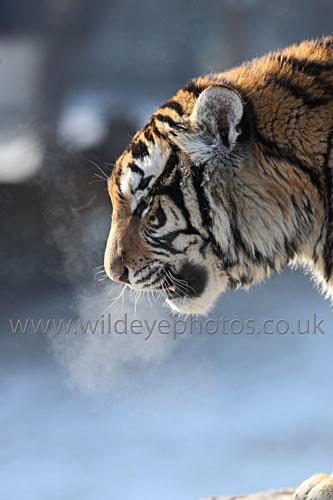 Tiger Breath - Tigers
