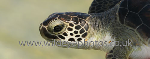 Baby Turtle - Panoramic & Slim Prints