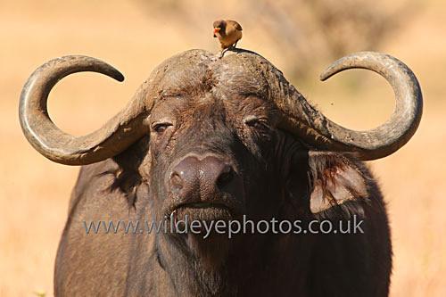 Buffalo & Oxpecker - African Wildlife