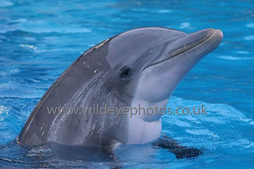 Dolphin - Wildlife